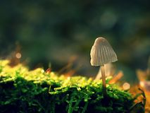 Mysterious wild mushroom in lighting forest. Slim stalk, fallen leaves Royalty Free Stock Images