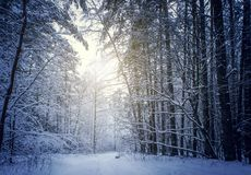 Mysterious winter forest in dark blue colored forest. stock photo