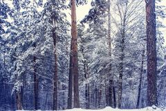 Mysterious winter forest in dark blue colored forest. stock images
