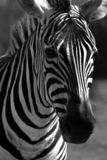 Mystery. Black and white closeup of a Zebra Stock Photos