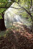 Mystery forest. Misty mystery forest with rays of sun Royalty Free Stock Photo