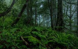 Mystery forest. And fern in Ukrainian Carpathians in summer Stock Photo