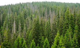 Mystery forest fir trees Royalty Free Stock Photos