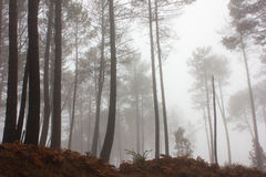 Mystery Forest in foggy weather Stock Photos