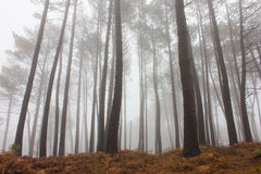 Mystery Forest in foggy weather Stock Photography