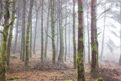 Mystery Forest in foggy weather Royalty Free Stock Photography