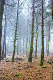 Mystery Forest in foggy weather Royalty Free Stock Images