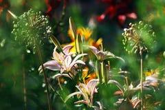Mystery in garden. Lilies in mystery  summer garden Stock Photo
