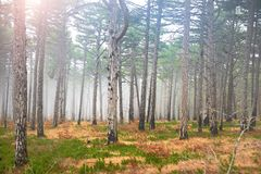 Mystery misty forest with sun. And green pine trees Stock Photography