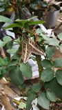 Mystery Moth. Mammoth Mystery Moth in backyard by pond Stock Photos
