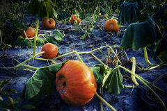 Mystery pumpkin field Stock Images