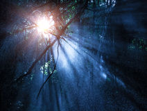 Mystery rainforest. Fog in the mysterious rainforest, sun rays are shining through high dark trees, tropical woods, dangerous travel concept Stock Photo