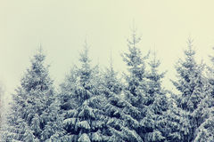 Mystery snow forest. Mystery snow pine tree forest Royalty Free Stock Image