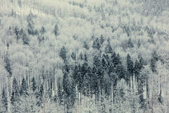 Mystery snow forest Stock Image