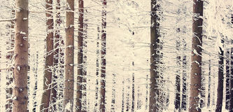 Mystery snow forest. Mystery snow pine tree forest Royalty Free Stock Photo