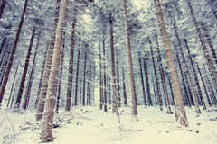 Mystery snow forest. Mystery snow pine tree forest Royalty Free Stock Photography