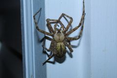Mystery Yellow Wolf Spider stock photos