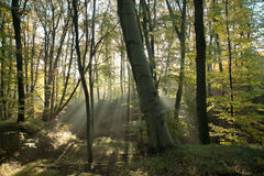 Mysti forest with sunshine Royalty Free Stock Photo
