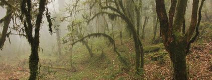 Mystic Ambience In A Rainforest Near Ghandruk, Nepal. Branches O Royalty Free Stock Image