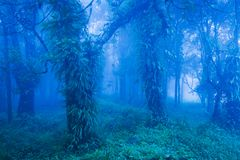 Mystic ancient trees in blue misty forest, lush tropical plants in the trunk and branches of old trees royalty free stock images