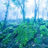 Mystic ancient tropical forest in blue misty, fantastic green moss and lichen in the rocks and branches of wild trees royalty free stock photos