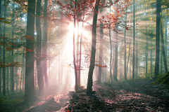 Mystic autumn foggy forest Stock Images