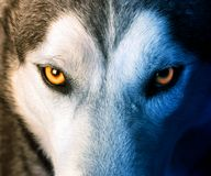 Mystic charm of the wolf Stock Images