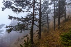 Mystic dramatic autumn Caucasus mountain pine tree forest in the fog at dusk. Scenic landscape.  royalty free stock images