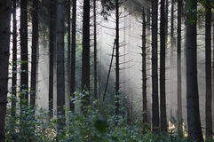 Mystic foggy forrest in the early morning Stock Photography