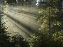 Mystic forest. Sun light shining through the trees. Carpathians wood, Ukraine Royalty Free Stock Photography