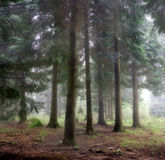 Mystic forest. Relaxing picture of a foggy forest scene royalty free stock images