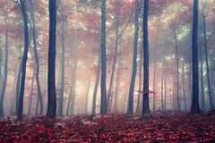 Mystic forest. Mystic autumn red beech forest