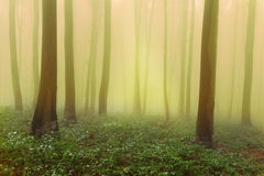 Mystic forest during a foggy day Royalty Free Stock Image