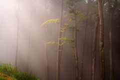 Mystic forest during a foggy day. A fairytale landscape with magic light Stock Photography