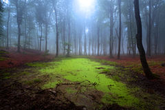 Mystic forest during a foggy day. A fairytale landscape with magic light Royalty Free Stock Photo