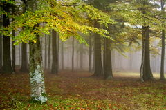 Autumn landscape. Mystic colored foggy forest Royalty Free Stock Photography