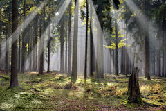 Mystic forest. With morning sunbeams Czech republic Cesky Les Stock Photography