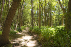 Forest in Stellenbosch, South Africa. Mystical path through summer forest in Stellenbosch, South Africa Royalty Free Stock Photography