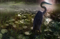 Mystic Heron. A giant gray heron stands in a misty mountain lake. This is a mystical lily looking lily pond in the Stock Photos
