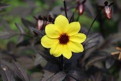 Mystic Illusion yellow dahlia Royalty Free Stock Images