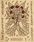 Mystic illustration with mandragora magic root and occult symbols. Royalty Free Stock Photos