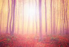 Mystic light forest Stock Photo