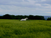 Mystic Mare. White horse running in the meadow with stormy sky Royalty Free Stock Images