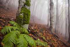 Mystic morning foggy forest landscape Stock Images