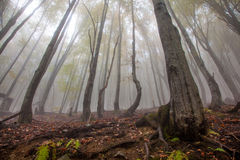 Mystic morning foggy forest landscape Stock Photos