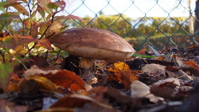Mystic mushroom. Inn the autumn Such a mushrooms grow in gardens in South Bohemia. Very nice colors royalty free stock photo