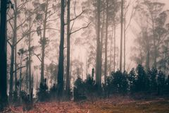 Foggy pine forest on Madeira island, Portugal. Mystic pine forest in thick fog stock photo