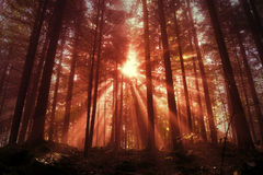 Mystic red saturated forest light Stock Images
