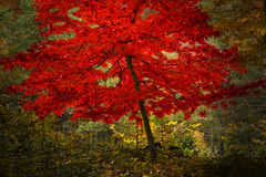 Mystic red tree Royalty Free Stock Photos