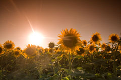 Mystic sunflowers. Mystic landscape with dark sky and sunflowers Stock Photography